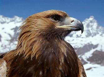 Беркут птица (лат. Aquila chrysaetos)