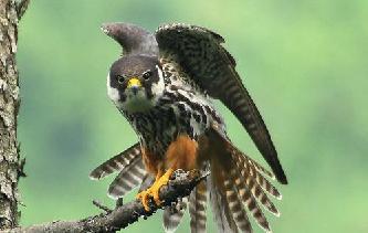 Чеглок птица (лат. Falco subbuteo)