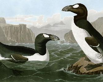 Бескрылая гагарка (лат. Pinguinus impennis)