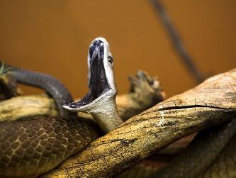 Черная мамба змея (лат. Dendroaspis polylepis)