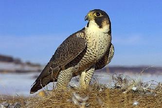 Птица сапсан (лат. Falco peregrinus)